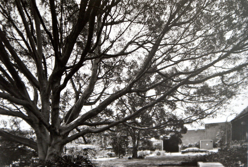 Large fig tree in Refinery Square