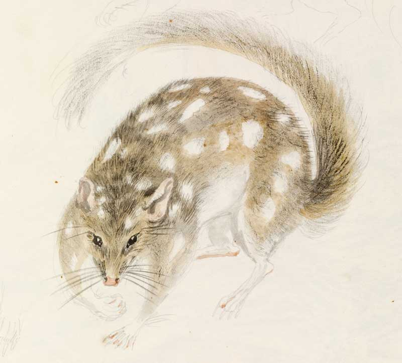 Native quoll 1788