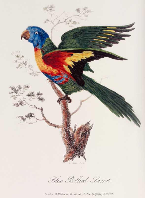 Rainbow lorikeet 1788