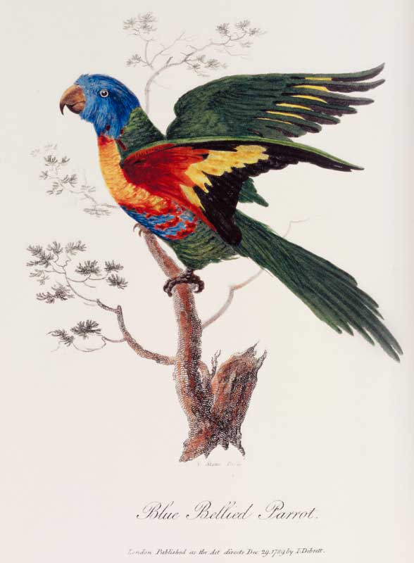 Rainbow lorikeet 1788