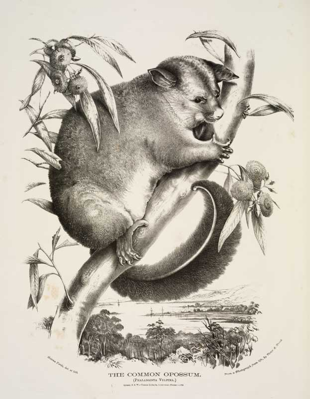 Brushtail possum 1788